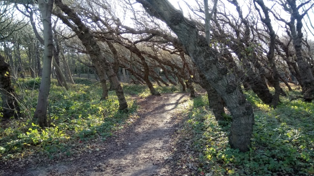 black poplar trees at formby